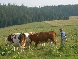 Licol vache concours